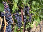 Grapes are part of the guide to Napa and Sonoma