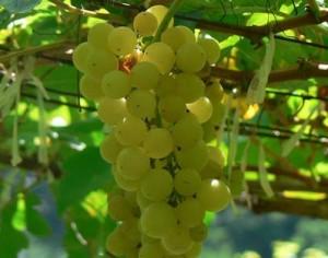 Chenin-Blanc-grapes-NLT
