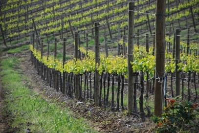 Castello d'Albola vineyards