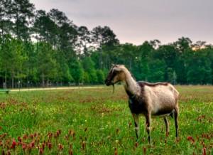 Sweet Grass Dairy goat in a field