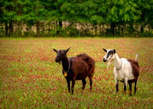 Sweetgrass goats in a field