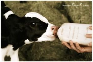 hand feeding a calf