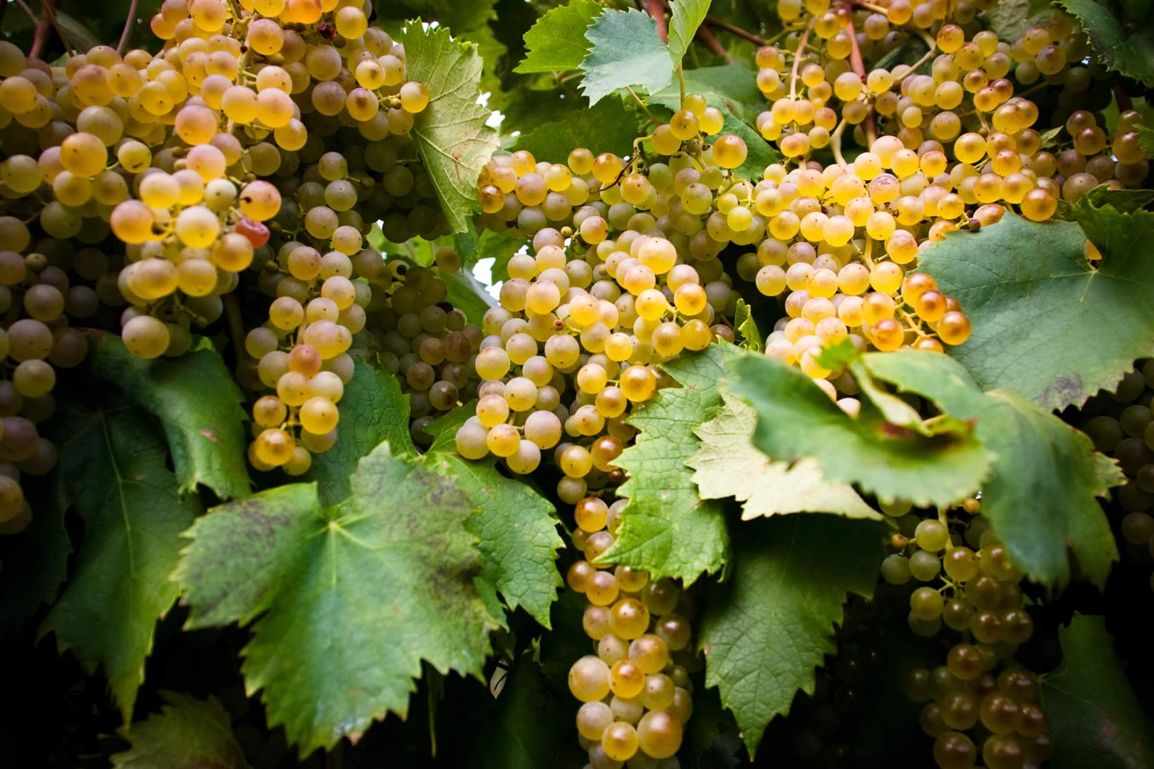 Garganega Grapes from Italy