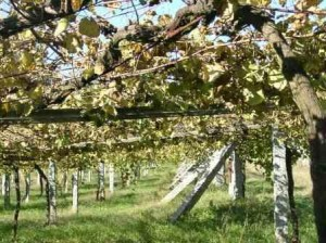 Albarino Vineyards in Rias Baixas