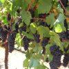 Pinot Noir Grape Clusters