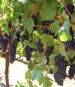 Pinot Noir Grape Clusters in Sonoma