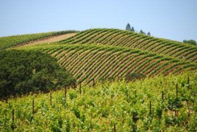 Nice Vineyard Picture